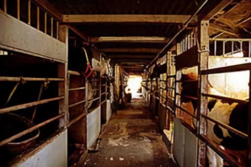 C日高市の牧場|牛舎内