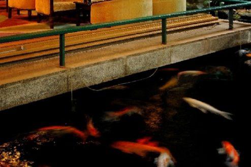O大月ホテル和風館|池の鯉